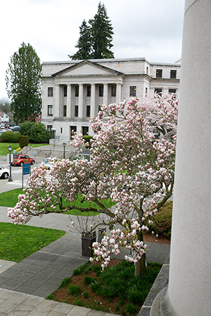 Saucer magnolia tree located at the SE corner of the Legislative Building